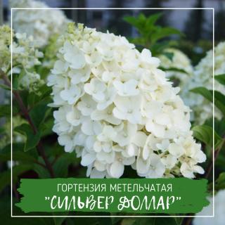 "Гортензия метельчатая ""Сильвер Доллар"""