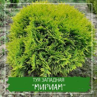 """Туя западная """"Мириам"""""""