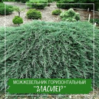 """Можжевельник горизонтальный """"Гласиер"""""""