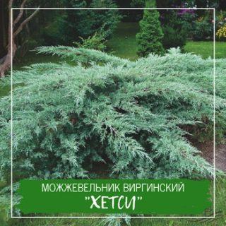 """Можжевельник виргинский """"Хетси"""""""