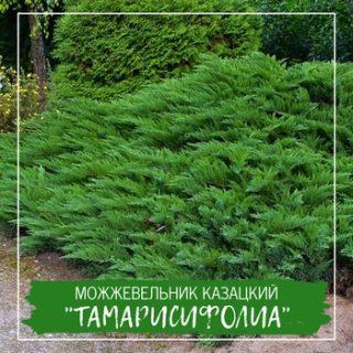 """Можжевельник казацкий """"Тамарисифолиа"""""""