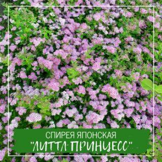 """Спирея японская """"Литтл Принцесс"""""""