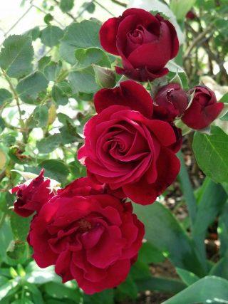 """Роза чайно-гибридная """"Гренада"""""""