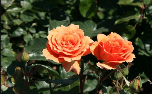 "Роза флорибунда ""Орфорд"""