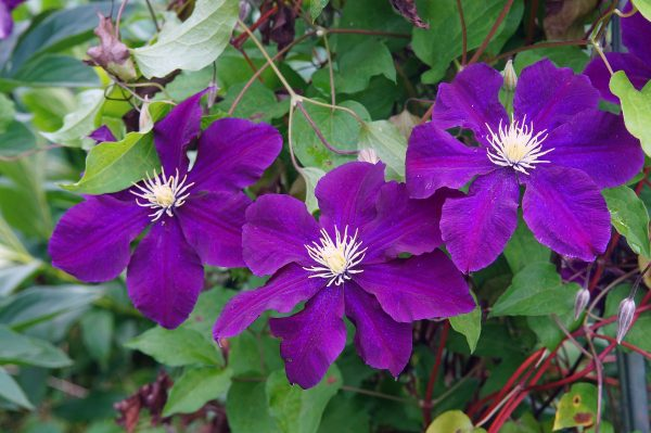 Клематис крупноцветковый (20-30 см)