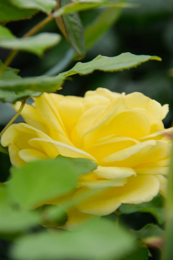 "Роза чайно-гибридная ""Экринс"""