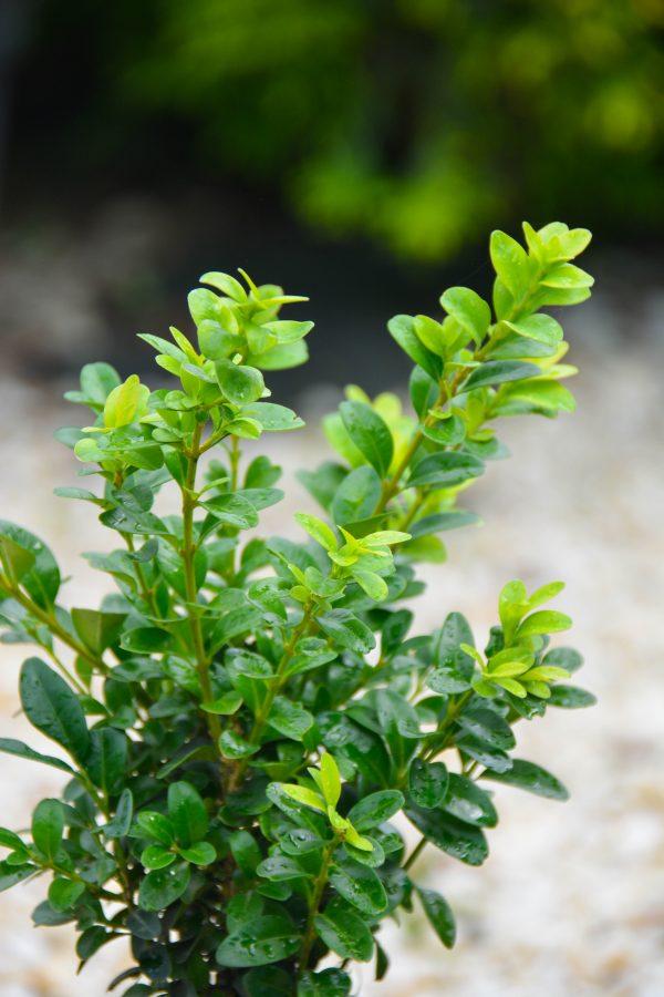 Самшит вечнозелёный (15-20 см)