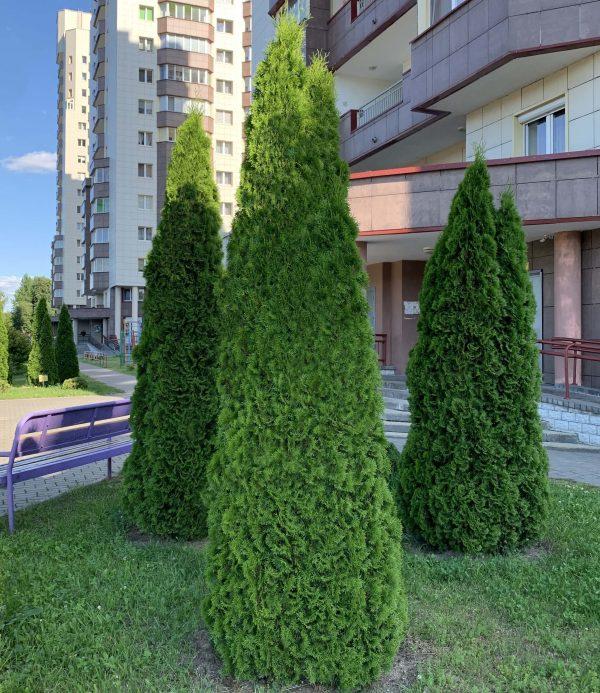 """Туя западная """"Смарагд"""" (25-30 см)"""
