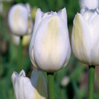 """Тюльпан """"Уайт Марвел"""" (Триумф) (12+)"""