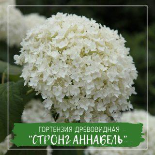 """Гортензия древовидная """"Стронг Аннабель"""""""