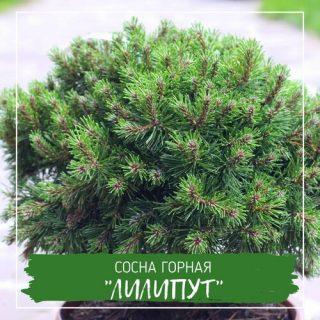 """Сосна горная """"Лилипут"""""""