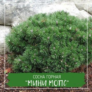 "Сосна горная ""Мини Мопс"""
