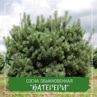 """Сосна обыкновенная """"Ватерери"""""""
