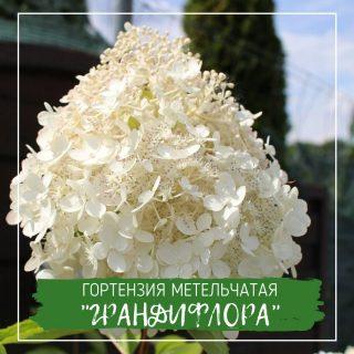 "Гортензия метельчатая ""Грандифлора"""