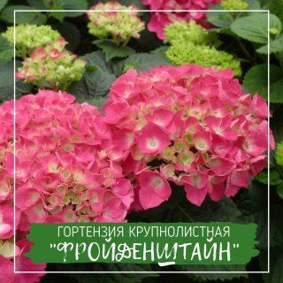 """Гортензия крупнолистная """"Фройденштайн"""""""