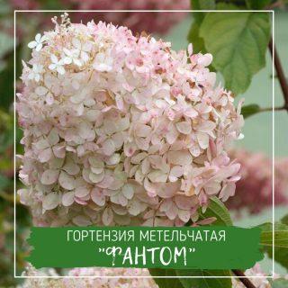 """Гортензия метельчатая """"Фантом"""""""