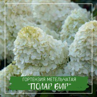 "Гортензия метельчатая ""Полар Бир"""