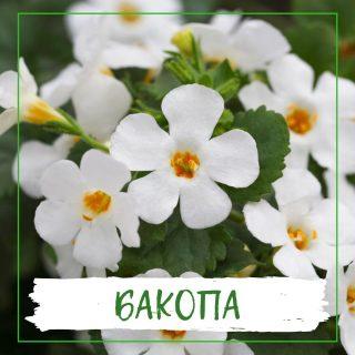 Бакопа