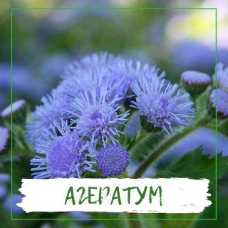 Агератум