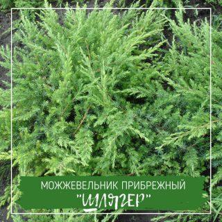 """Можжевельник прибрежный """"Шлягер"""""""