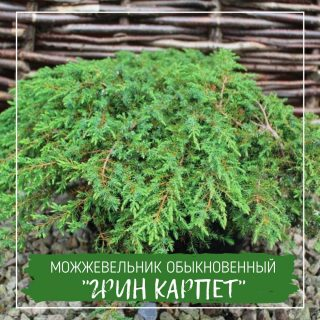 """Можжевельник обыкновенный """"Грин Карпет"""""""