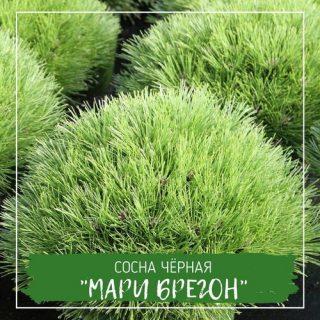 "Сосна чёрная ""Мари Брегон"""