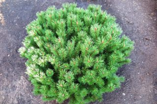 Ель пурпурная (40-50 см)