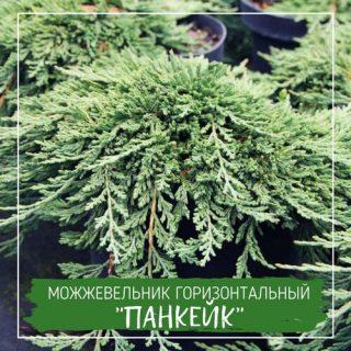 """Можжевельник горизонтальный """"Панкейк"""""""