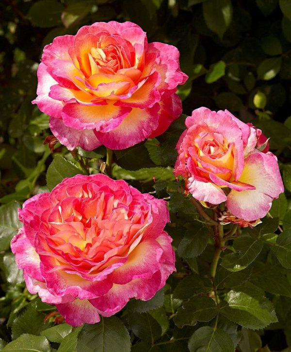 """Роза чайно-гибридная """"Горджес"""""""