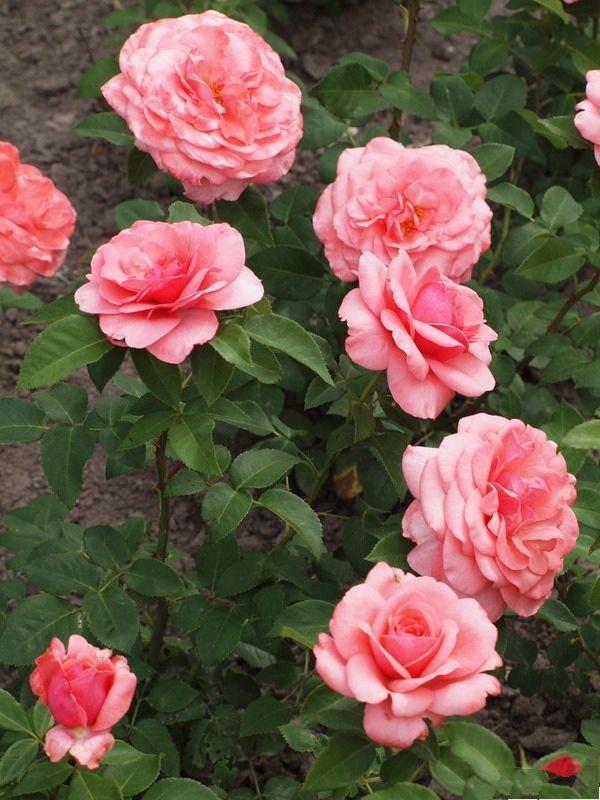 "Роза чайно-гибридная ""Элэйн Пэйдж"""