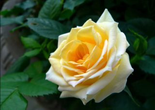 """Роза флорибунда """"Кейсариа"""""""