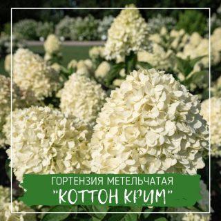 """Гортензия метельчатая """"Коттон Крим"""""""