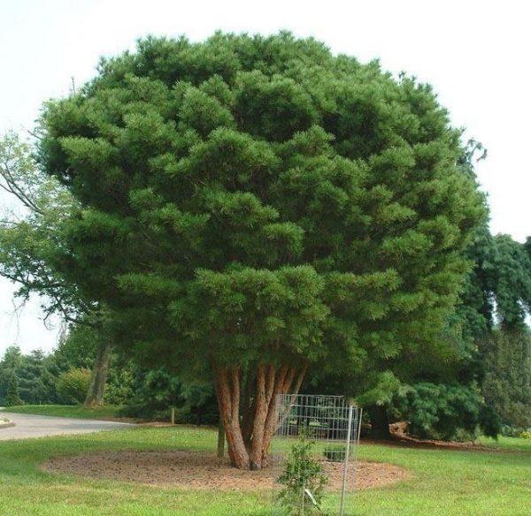 Сосна густоцветковая (20-25 см)
