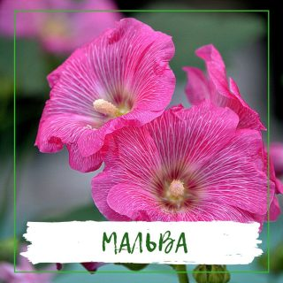 Мальва
