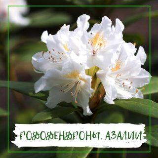 Рододендроны, азалии