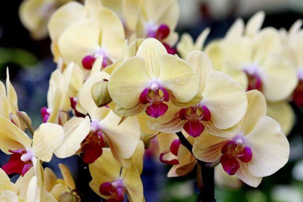 Орхидея лимонно-розовая