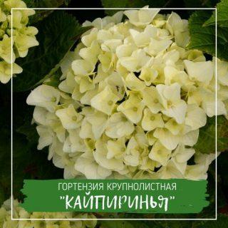 """Гортензия крупнолистная """"Кайпиринья"""""""