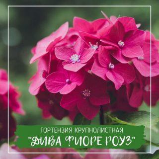 "Гортензия крупнолистная ""Дива Фиоре Роуз"""