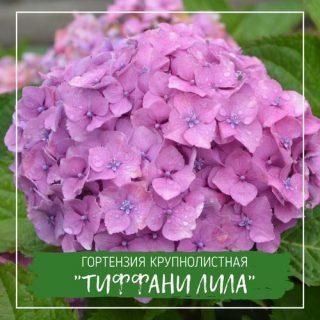 """Гортензия крупнолистная """"Тиффани Лила"""""""