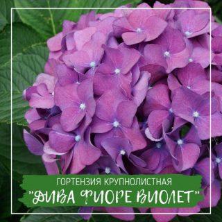 """Гортензия крупнолистная """"Дива Фиоре Виолет"""""""