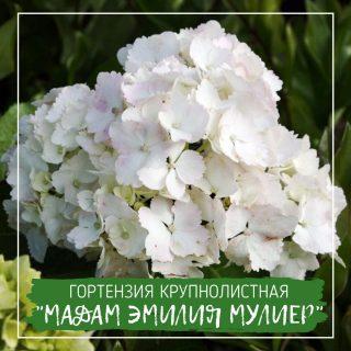 "Гортензия крупнолистная ""Мадам Эмилия Мулиер"""