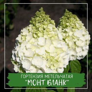 """Гортензия метельчатая """"Монт Бланк"""""""