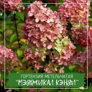"""Гортензия метельчатая """"Мэджикал Кэндл"""""""