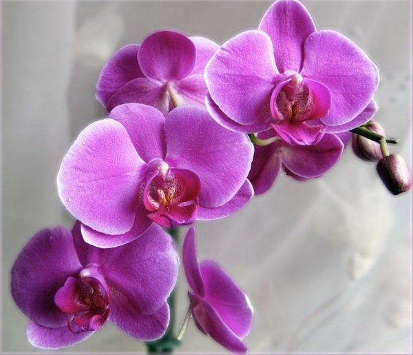 Орхидея лавандовая