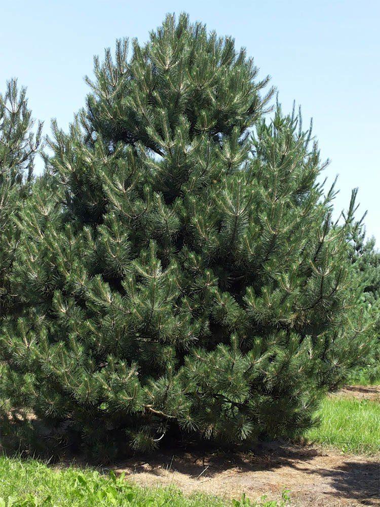 Сосна чёрная (10-15 см)
