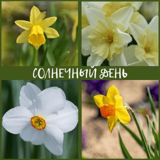 """Композиция Нарциссов """"Солнечный День"""""""