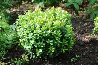Самшит вечнозелёный (до 10 см)